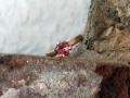 Förlovningsring-22-Triljantslipad-rosa-orange-safir-i-roseguldsring